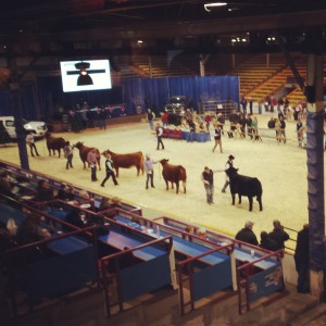 Canadian Western Agribition Show Cattle