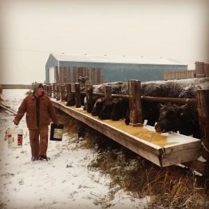 Canadian Rancher Feeding Cattle