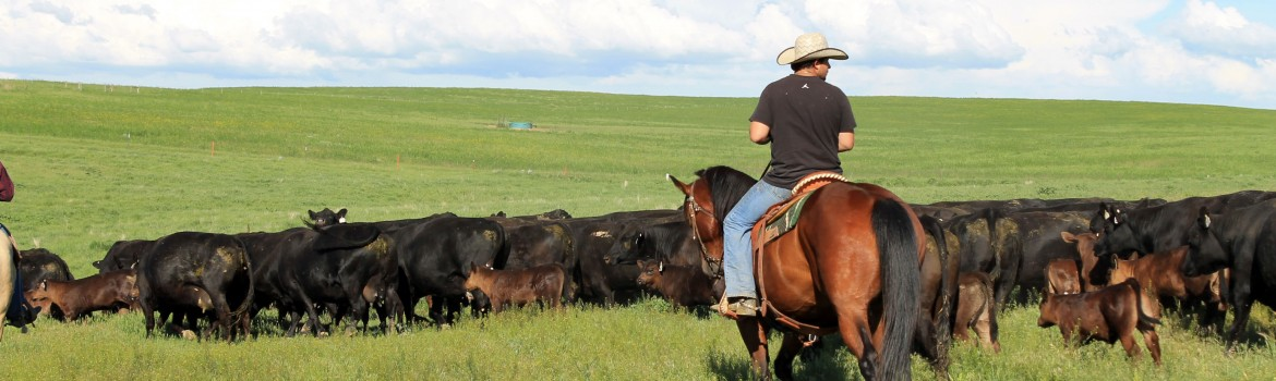 moving cattle montana pasture