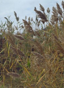 Common Reed (Phragmites australis) - Click image to learn more